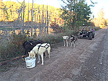 Training the dogs on the Soo Line Trail